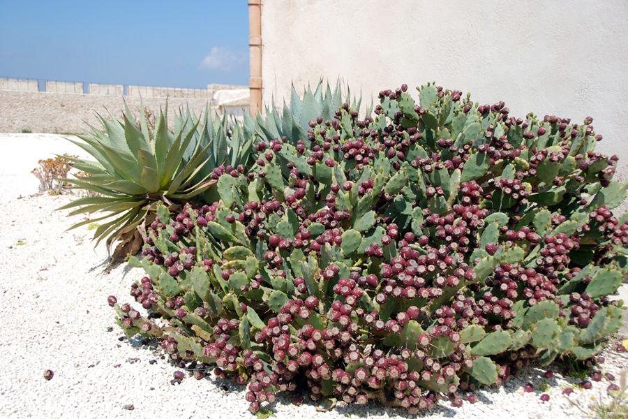 Sicily, cactus.jpg