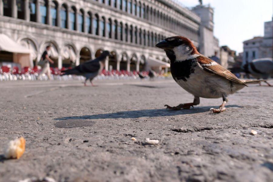 Venice, sparrow on San Marco.jpg
