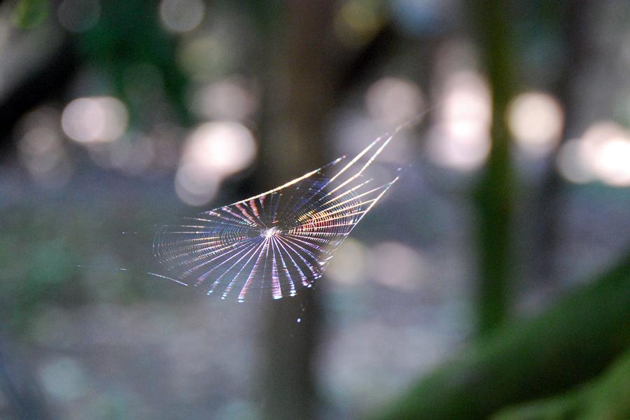 lemon spider web
