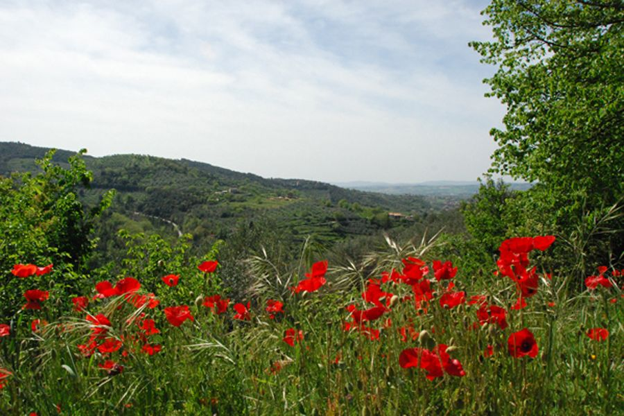 Umbria, poppies.jpg