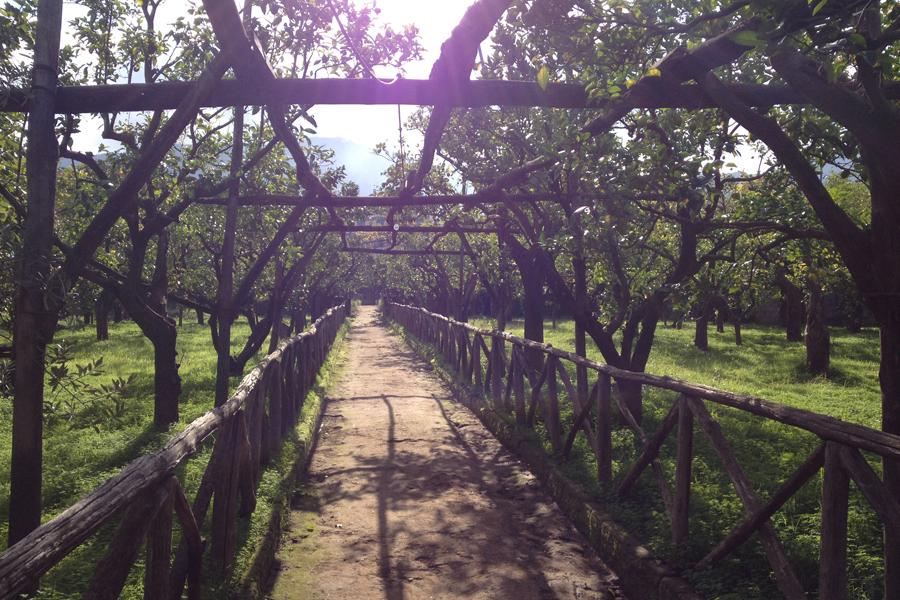 Lemon grove in Sorrento