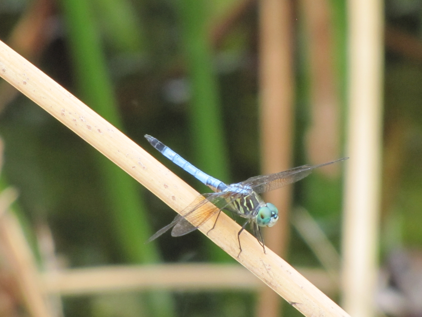 Blue Dasher 8.JPG