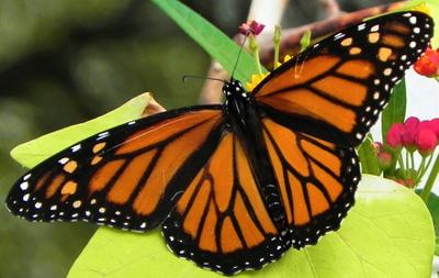 Monarch - Andy Pinon.jpg