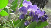TX Mountain Laurel - Sophora secundiflora