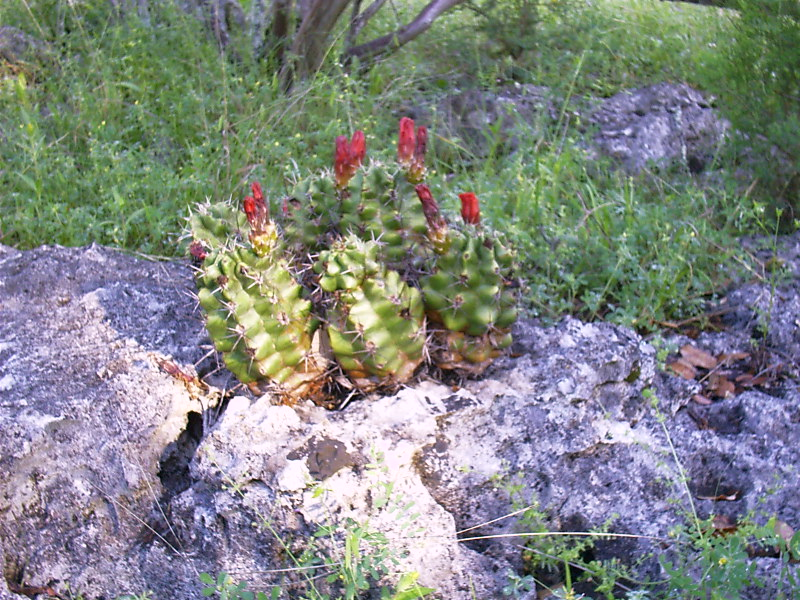 Claret cup cactus.jpg
