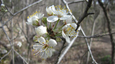 Mexican Plum Bloom - Prunus Mexicanus