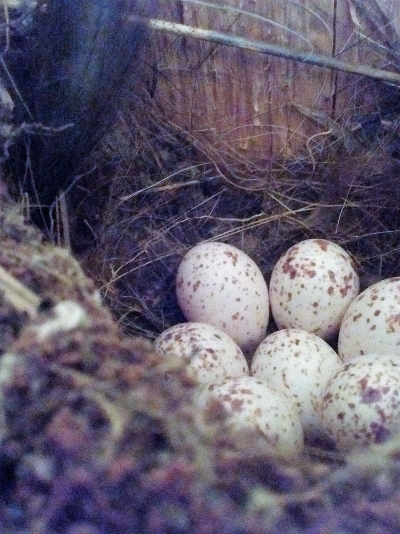 nest box eggs.jpg