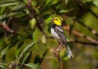 Golden cheeked Warbler