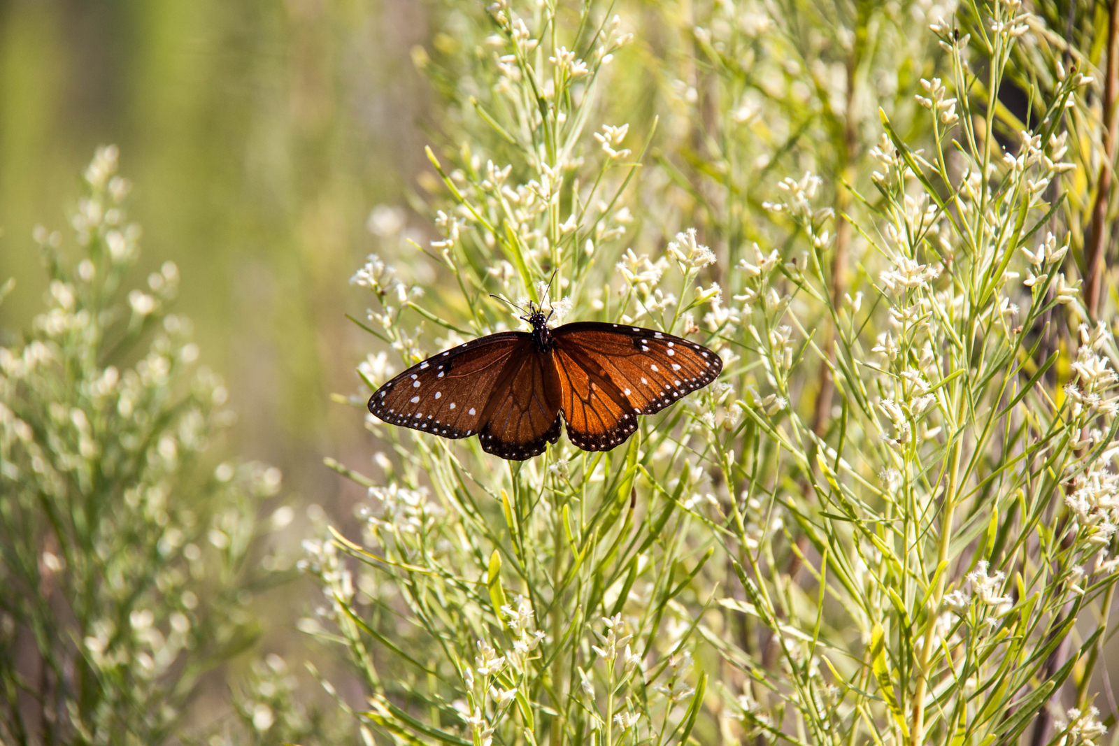 Monarch Butterflies on the Uplands