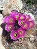 Lace Cactus - Echinocereus reichenbachii