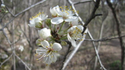 Mexican Plum - Prunus Mexicanus