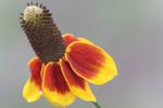 Mexican Hat - Ratibida columnifera