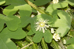 Passionflower - Passiflora lutea