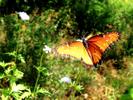 Queen's Butterfly