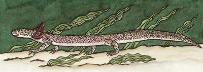 Barton Springs Salamander.jpg