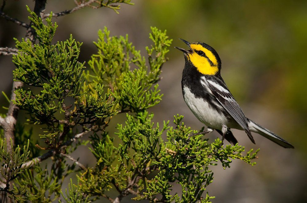 Golden-cheeked warbler at Westcave
