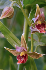 chatterbox orchid.jpg