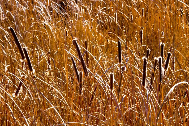 Rowdy Winters - Golden Cattails.jpg