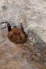 Little Brown Bat, Myotis
