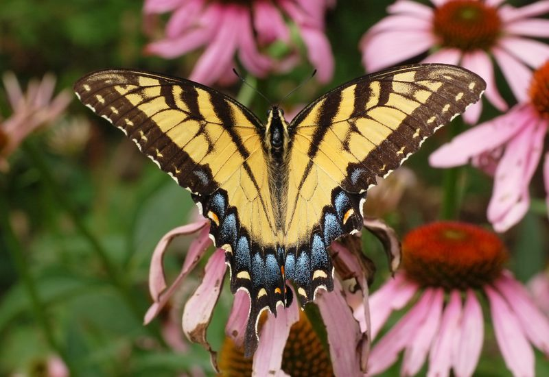 Eastern Tiger Swallowtail Papilio Glaucus Wings2908px.jpg