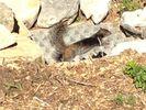 Rock Squirrels