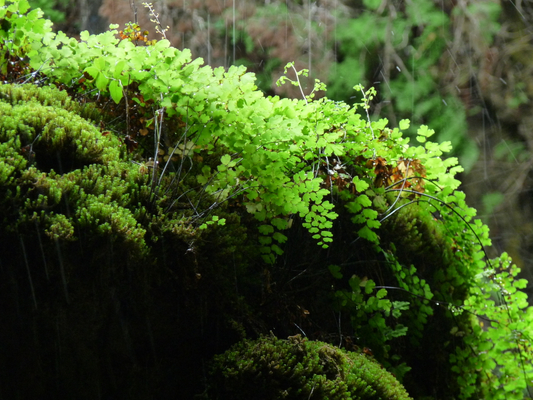 Maidenhair Fern at Westcave Outdoor Discovery Center