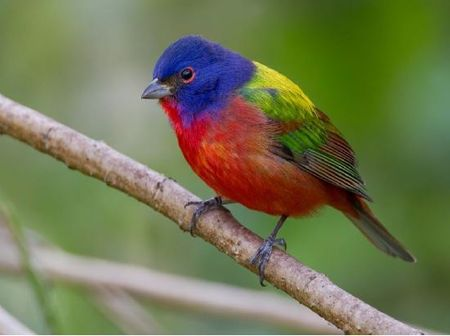 Painted buntings at Westcave Preserve