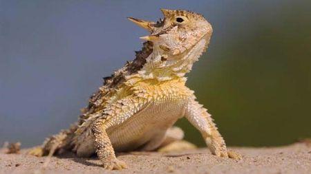 RT Social Horned Lizard.jpg