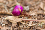 Leaf Cutter Ant with Beauty Berry