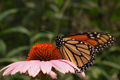 Monarch Butterfly - Event.jpg