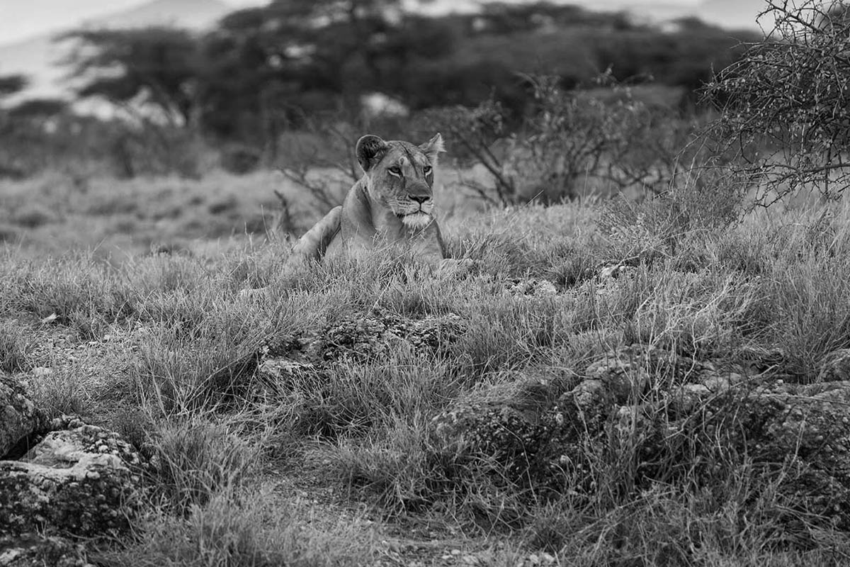lion1bw.jpg