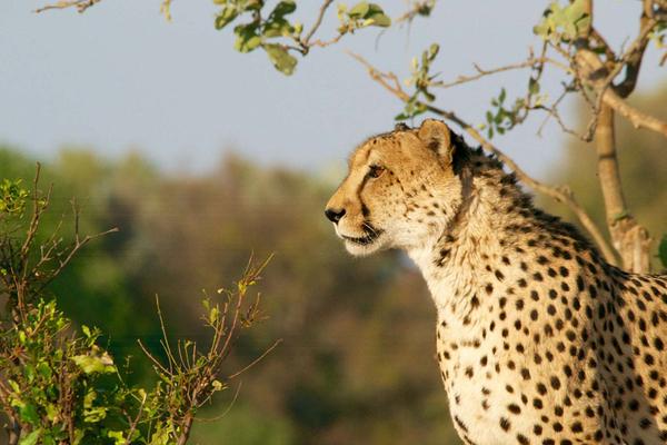 cheetah1.jpg