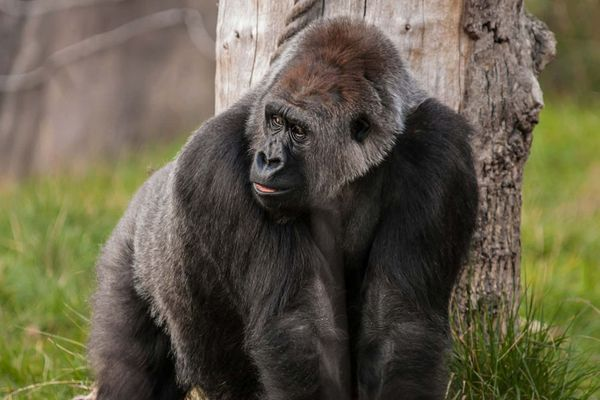 gorilla2.jpg