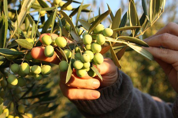 Olives Chile 10' #2.jpg