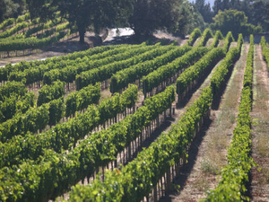 napa yountville napa vineyard.jpg