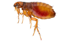 fleas.png