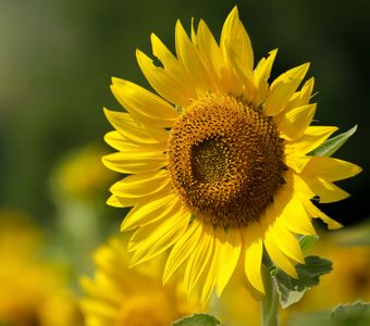 sunflowersideways2.jpg