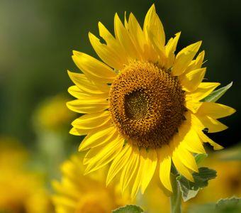 sunflowersideways2.jpg