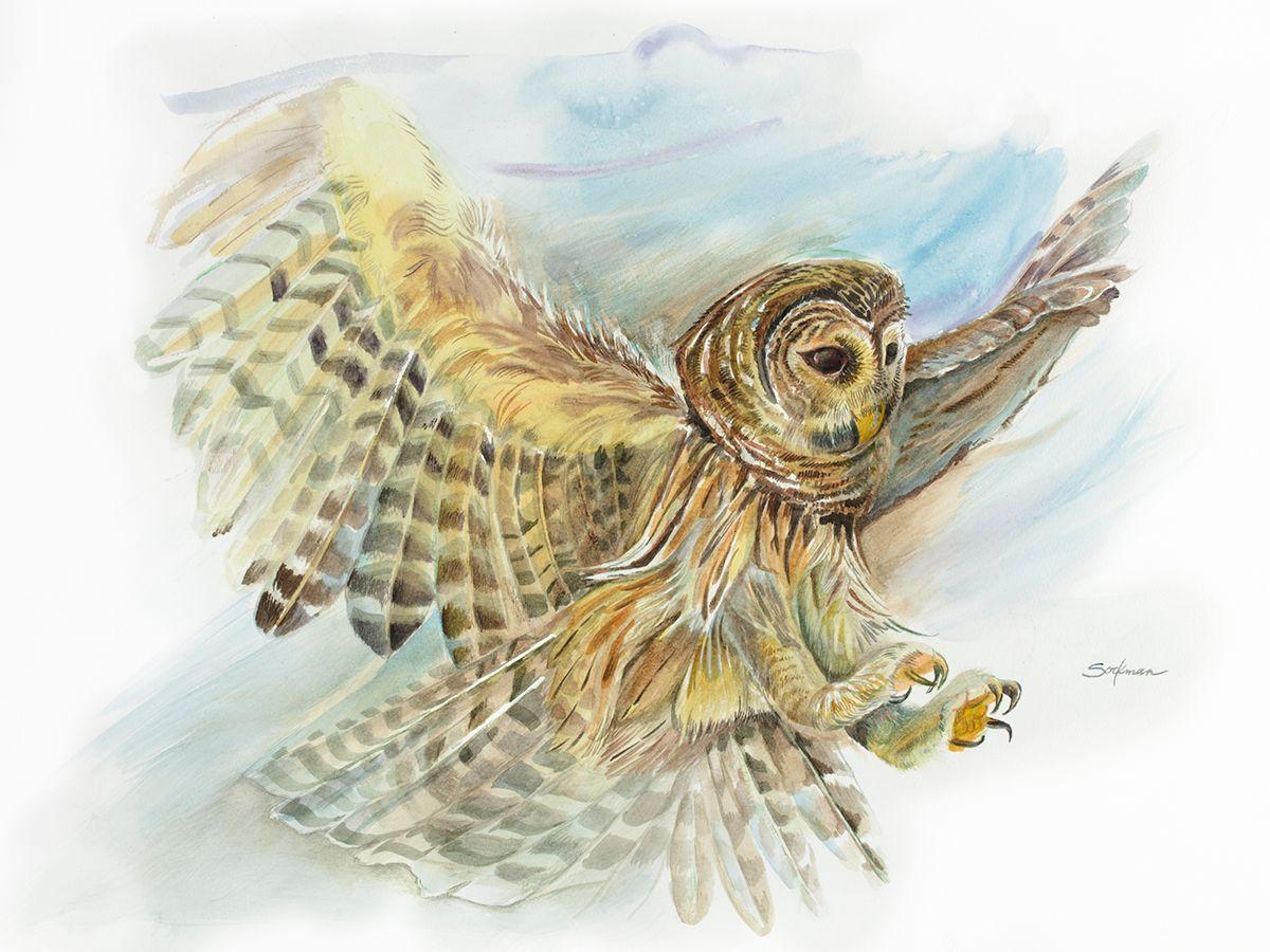 Nature-Studies-2-Barred-Owl.jpg