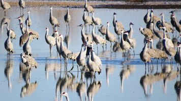 karen-hembree-spring-sandhill-cranes.jpg