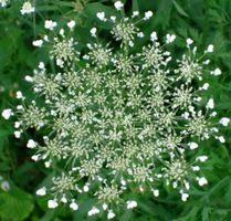 karen-hembree-summer-queen-anne's-lace.jpg