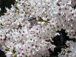 karen-hembree-spring-cherry-blossoms.jpg