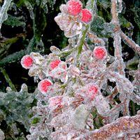 karen-hembree-winter-frozen-berries.jpg