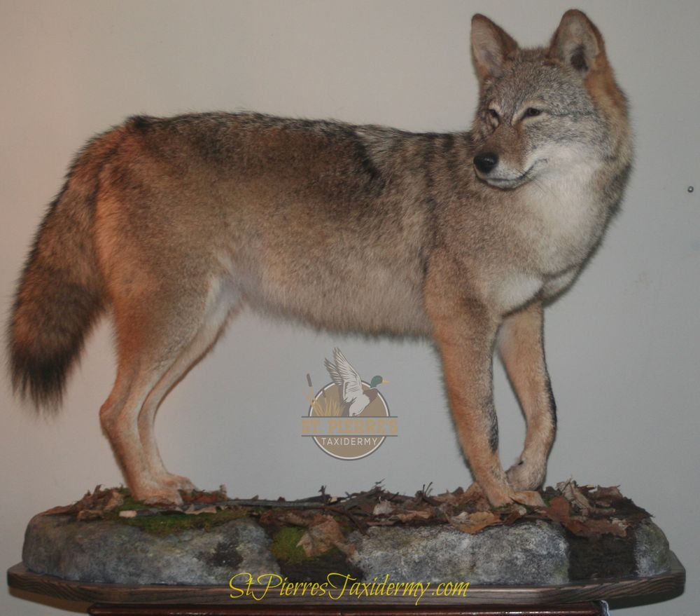 Coyote Mount - Life Size Mammals Taxidermy