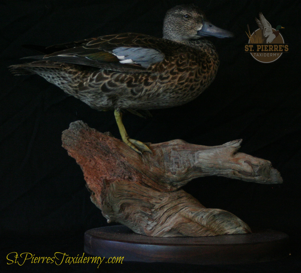 Blue-winged Teal Mount - Bird Taxidermy