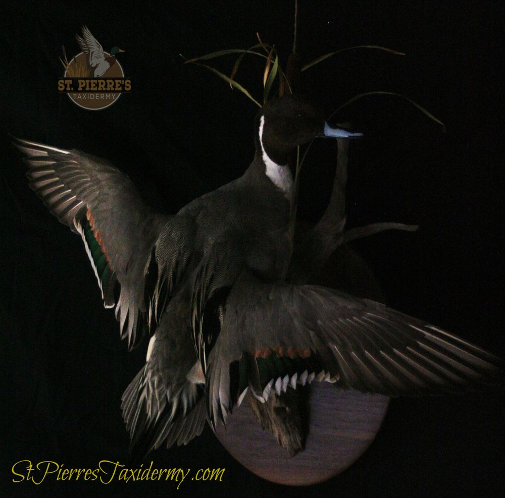 Northern Pintail Mount - Bird Taxidermy