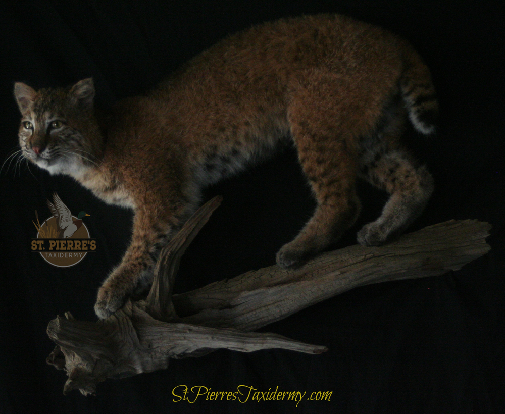 Bobcat Mount - Life Size Mammals Taxidermy