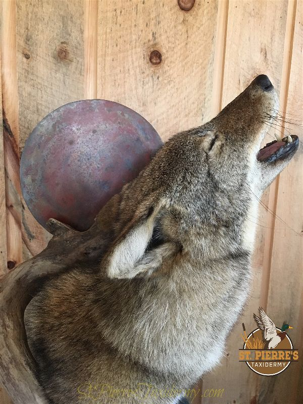 Howling Coyote Mount - Gamehead Taxidermy