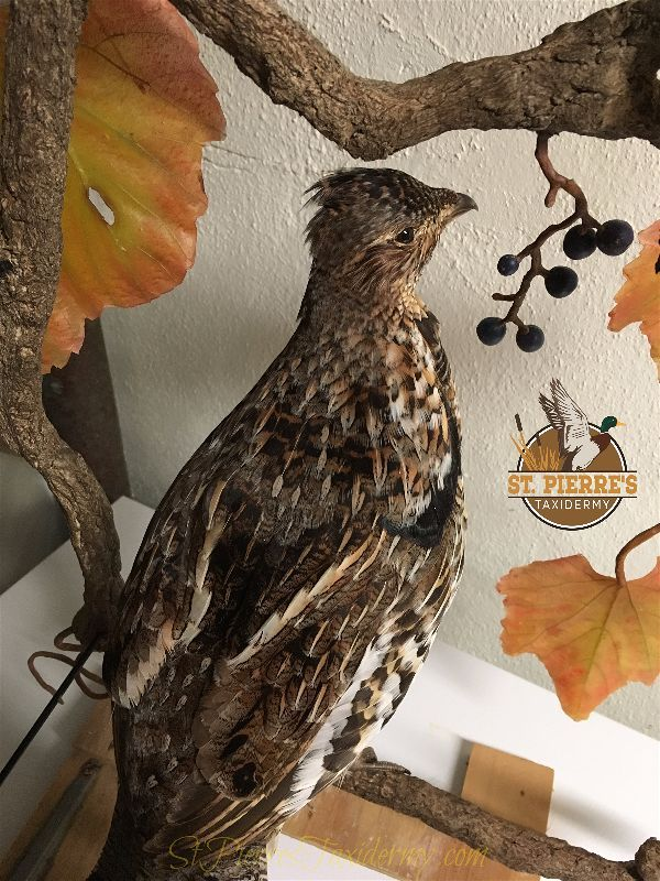 Ruffed Grouse Mount - Bird Taxidermy