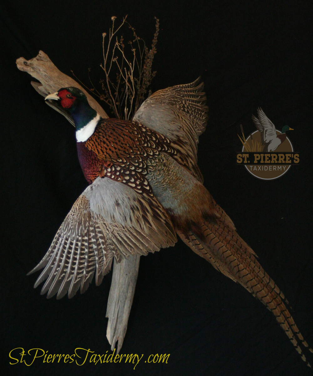 Ring-necked Pheasant Mount - Bird Taxidermy